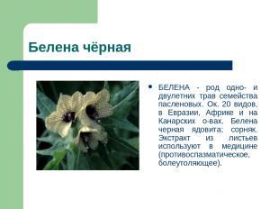 Белена чёрная БЕЛЕНА - род одно- и двулетних трав семейства пасленовых. Ок. 20 в