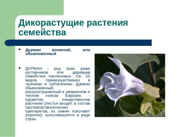 Дикорастущие растения семейства Дурман вонючий, или обыкновенный ДУРМАН - род трав, реже кустарников или деревьев семейства пасленовых. Св. 10 видов, преимущественно в тропиках и субтропиках. Дурман обыкновенный, распространенный в умеренном и тепло…