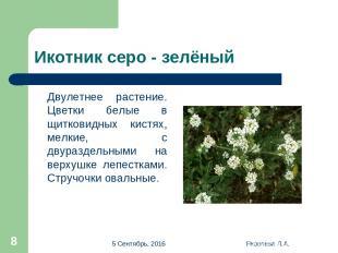* Яковлева Л.А. * Икотник серо - зелёный Двулетнее растение. Цветки белые в щитк