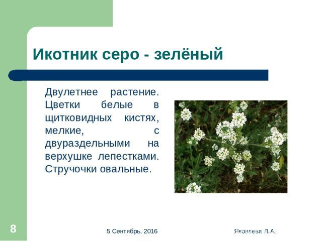 * Яковлева Л.А. * Икотник серо - зелёный Двулетнее растение. Цветки белые в щитковидных кистях, мелкие, с двураздельными на верхушке лепестками. Стручочки овальные. Яковлева Л.А.