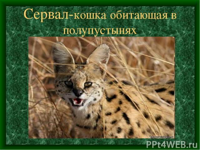 Сервал-кошка обитающая в полупустынях