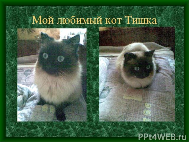 Мой любимый кот Тишка
