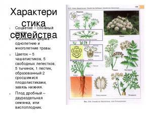 Характеристика семейства Соцветие – сложный зонтик. Жизненная форма – однолетние