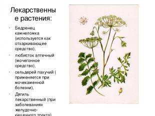 Лекарственные растения: Бедренец камнеломка (используется как отхаркивающее сред