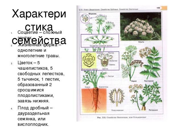 Характеристика семейства Соцветие – сложный зонтик. Жизненная форма – однолетние и многолетние травы. Цветок – 5 чашелистиков, 5 свободных лепестков, 5 тычинок, 1 пестик, образованный 2 сросшимися плодолистиками, завязь нижняя. Плод дробный – двураз…