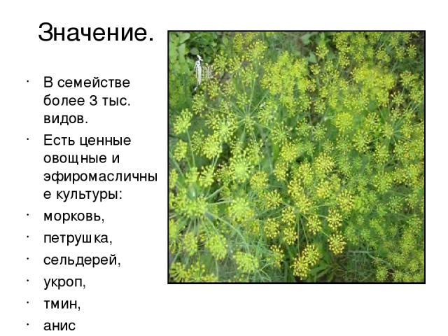 Значение. В семействе более 3 тыс. видов. Есть ценные овощные и эфиромасличные культуры: морковь, петрушка, сельдерей, укроп, тмин, анис