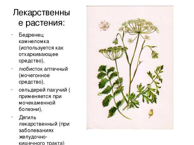 Лекарственные растения: Бедренец камнеломка (используется как отхаркивающее средство), любисток аптечный (мочегонное средство), сельдерей пахучий ( применяется при мочекаменной болезни), Дягиль лекарственный (при заболеваниях желудочно-кишечного тра…