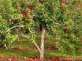 В умеренном климате этот представитель семейства розовых - самое главное плодово