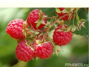 Многолетний полукустарник семейства розоцветных, с ароматными плодами красного ц