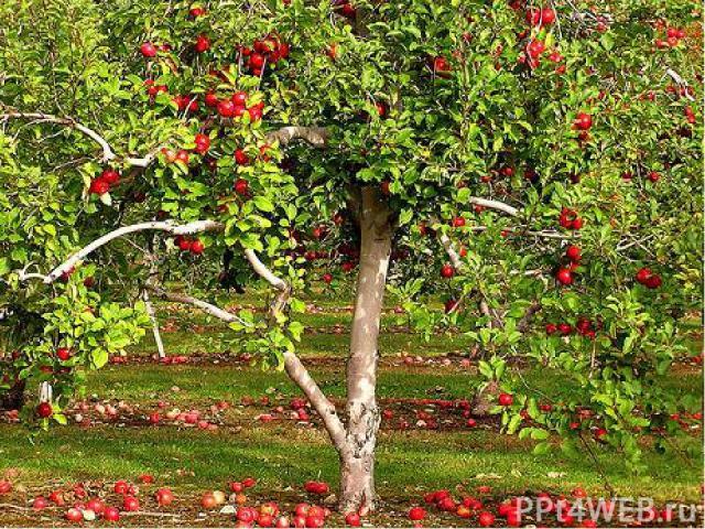В умеренном климате этот представитель семейства розовых - самое главное плодовое дерево. В его плодах содержится много веществ, необходимых людям. В них есть сахара, витамины, кислоты, минеральные соли. Плоды едят свежими, сушёными, мочёными и замо…