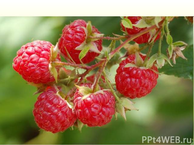 Многолетний полукустарник семейства розоцветных, с ароматными плодами красного цвета. Их традиционно применяютпри простудных заболеваниях, острых респираторных инфекциях. Как ягодная культура и лекарственное растениеизвестна с давних времен.