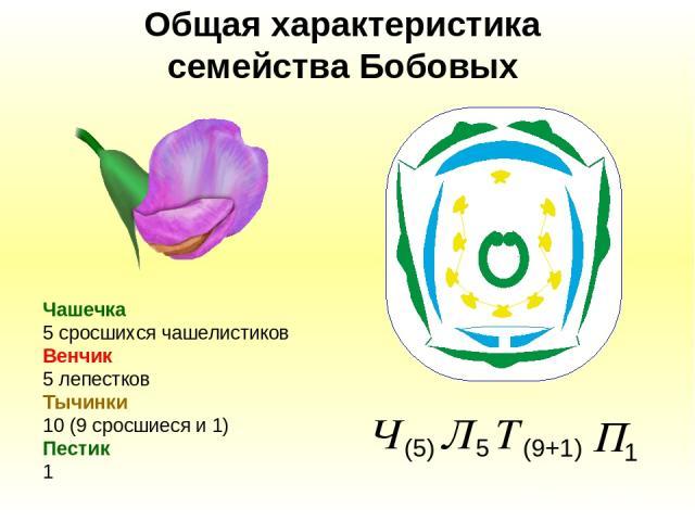 Общая характеристика семейства Бобовых Чашечка 5 сросшихся чашелистиков Венчик 5 лепестков Тычинки 10 (9 сросшиеся и 1) Пестик 1
