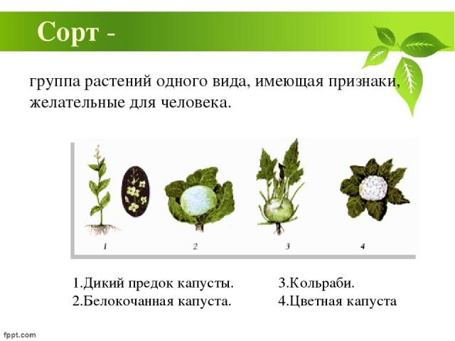 группа растений одного вида, имеющая признаки, желательные для человека. Сорт - 1.Дикий предок капусты. 2.Белокочанная капуста. 3.Кольраби. 4.Цветная капуста