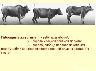 Гибридные животные: 1 - зебу аравийский; 2 - корова красной степной породы; 3 -