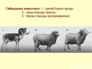 Гибридные животные: 1 - дикий баран архар; 2 - овца породы прекос; 3 - баран пор