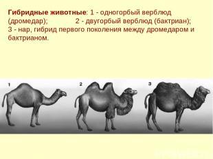 Гибридные животные: 1 - одногорбый верблюд (дромедар); 2 - двугорбый верблюд (ба