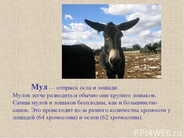 Мул — отпрыск осла и лошади. Мулов легче разводить и обычно они крупнее лошаков. Самцы мулов и лошаков бесплодны, как и большинство самок. Это происходит из-за разного количества хромосом у лошадей (64 хромосомы) и ослов (62 хромосомы).