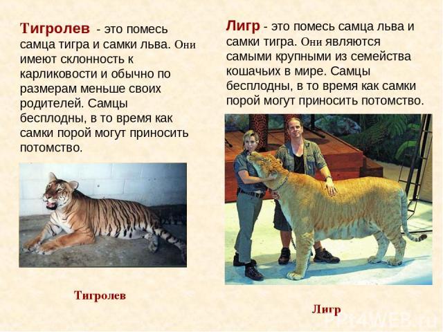 Лигр - это помесь самца льва и самки тигра. Они являются самыми крупными из семейства кошачьих в мире. Самцы бесплодны, в то время как самки порой могут приносить потомство. Лигр Тигролев Тигролев - это помесь самца тигра и самки льва. Они имеют скл…