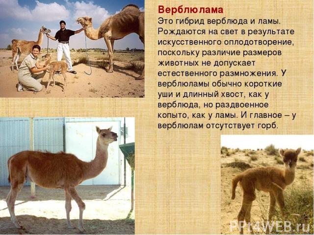 Верблюлама Это гибрид верблюда и ламы. Рождаются на свет в результате искусственного оплодотворение, поскольку различие размеров животных не допускает естественного размножения. У верблюламы обычно короткие уши и длинный хвост, как у верблюда, но ра…