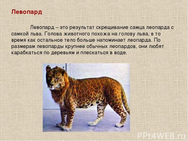 Левопард Левопард – это результат скрещивание самца леопарда с самкой льва. Голова животного похожа на голову льва, в то время как остальное тело больше напоминает леопарда. По размерам левопарды крупнее обычных леопардов, они любят карабкаться по д…