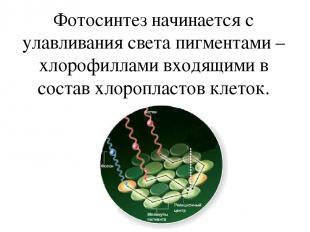 Фотосинтез начинается с улавливания света пигментами –хлорофиллами входящими в с
