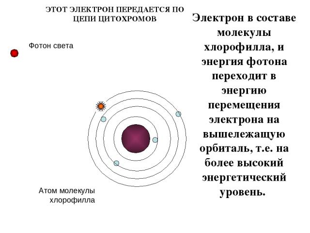 Электрон в составе молекулы хлорофилла, и энергия фотона переходит в энергию перемещения электрона на вышележащую орбиталь, т.е. на более высокий энергетический уровень. Атом молекулы хлорофилла ЭТОТ ЭЛЕКТРОН ПЕРЕДАЕТСЯ ПО ЦЕПИ ЦИТОХРОМОВ Фотон света