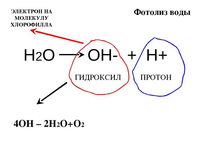 Фотолиз воды Н2О ОН- + Н+ ГИДРОКСИЛ ПРОТОН 4ОН – 2Н2О+О2 ЭЛЕКТРОН НА МОЛЕКУЛУ ХЛОРОФИЛЛА