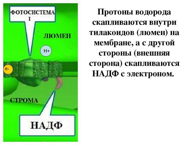 Протоны водорода скапливаются внутри тилакоидов (люмен) на мембране, а с другой стороны (внешняя сторона) скапливаются НАДФ с электроном. ЛЮМЕН СТРОМА Н+ е-