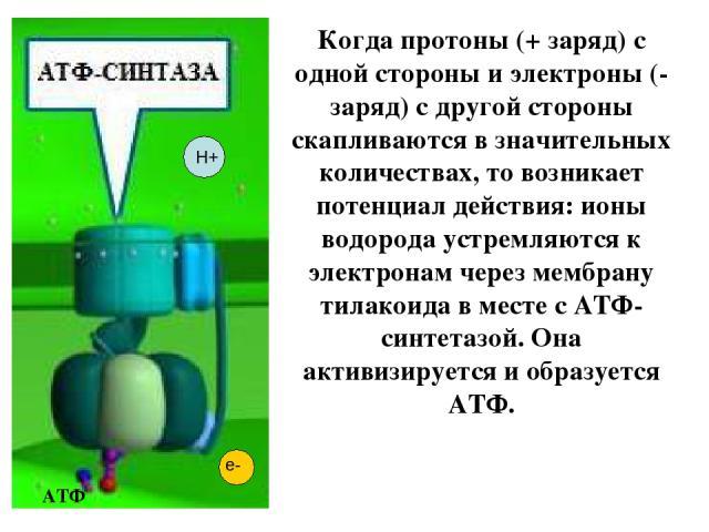 Когда протоны (+ заряд) с одной стороны и электроны (- заряд) с другой стороны скапливаются в значительных количествах, то возникает потенциал действия: ионы водорода устремляются к электронам через мембрану тилакоида в месте с АТФ-синтетазой. Она а…