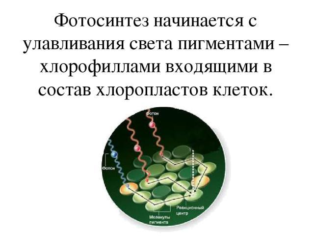 Фотосинтез начинается с улавливания света пигментами –хлорофиллами входящими в состав хлоропластов клеток.