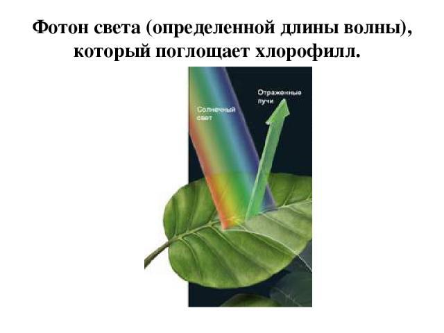 Фотон света (определенной длины волны), который поглощает хлорофилл.