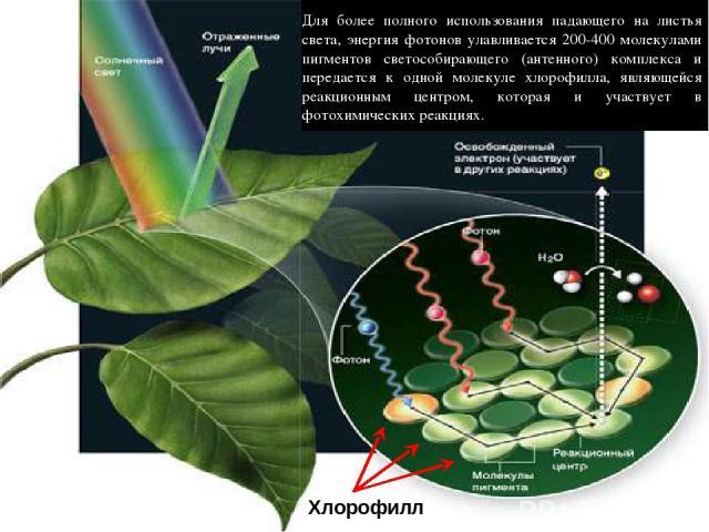 Хлорофилл Для более полного использования падающего на листья света, энергия фотонов улавливается 200-400 молекулами пигментов светособирающего (антенного) комплекса и передается к одной молекуле хлорофилла, являющейся реакционным центром, которая и…