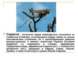 Саранча - несколько видов прямокрылых насекомых из семейства Acridiodea, отличаю