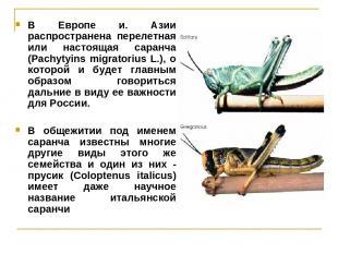 В Европе и. Азии распространена перелетная или настоящая саранча (Pachytyins mig