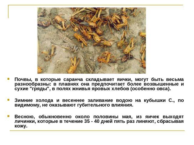 Почвы, в которые саранча складывает яички, могут быть весьма разнообразны: в плавнях она предпочитает более возвышенные и сухие