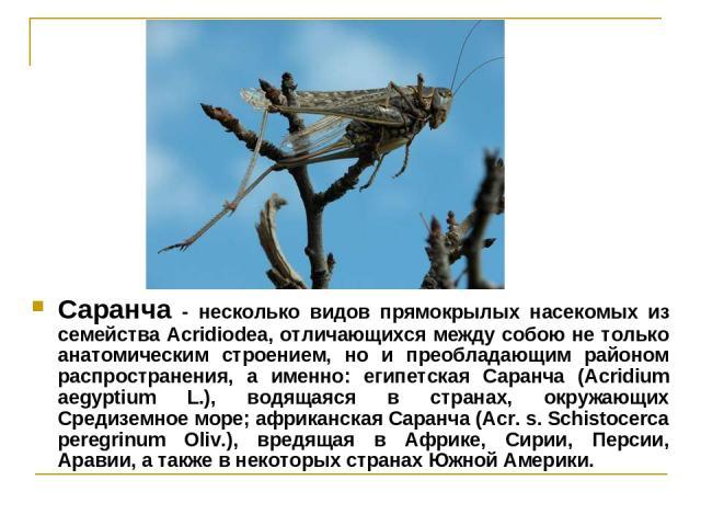 Саранча - несколько видов прямокрылых насекомых из семейства Acridiodea, отличающихся между собою не только анатомическим строением, но и преобладающим районом распространения, а именно: египетская Саранча (Acridium аеgyptium L.), водящаяся в страна…