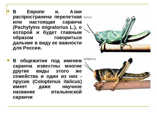 В Европе и. Азии распространена перелетная или настоящая саранча (Pachytyins migratorius L.), о которой и будет главным образом говориться дальние в виду ее важности для России. В общежитии под именем саранча известны многие другие виды этого же сем…