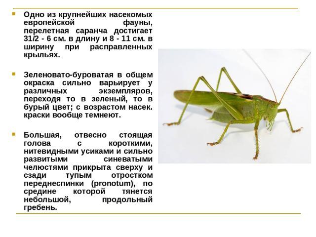 Одно из крупнейших насекомых европейской фауны, перелетная саранча достигает 31/2 - 6 см. в длину и 8 - 11 см. в ширину при расправленных крыльях. Зеленовато-буроватая в общем окраска сильно варьирует у различных экземпляров, переходя то в зеленый, …