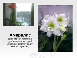Амаралис (содержит смертельный для человека яд, одной луковицы достаточно для вы