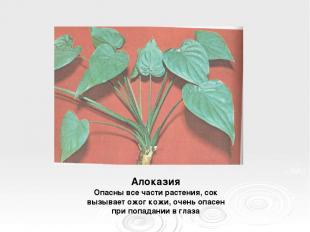 Алоказия Опасны все части растения, сок вызывает ожог кожи, очень опасен при поп