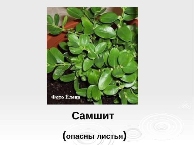 Самшит (опасны листья)