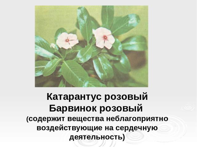 Катарантус розовый Барвинок розовый (содержит вещества неблагоприятно воздействующие на сердечную деятельность)
