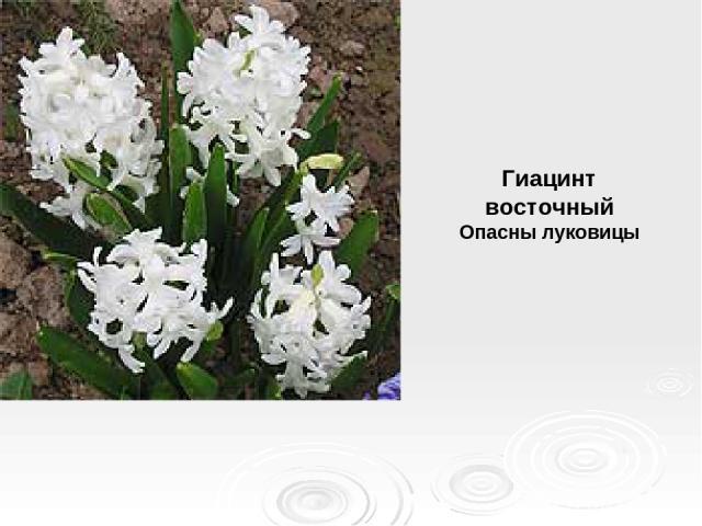 Гиацинт восточный Опасны луковицы