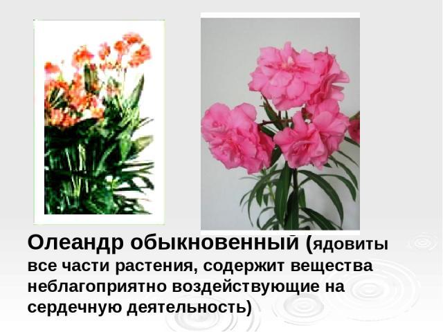 Олеандр обыкновенный (ядовиты все части растения, содержит вещества неблагоприятно воздействующие на сердечную деятельность)