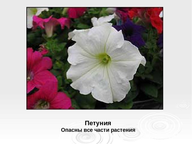 Петуния Опасны все части растения
