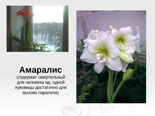 Амаралис (содержит смертельный для человека яд, одной луковицы достаточно для вызова паралича)