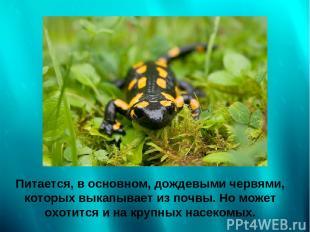 Питается, в основном, дождевыми червями, которых выкапывает из почвы. Но может о