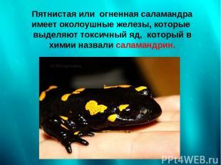 Пятнистая или огненная саламандра имеет околоушные железы, которые выделяют токс
