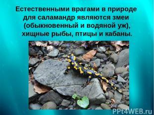 Естественными врагами в природе для саламандр являются змеи (обыкновенный и водя