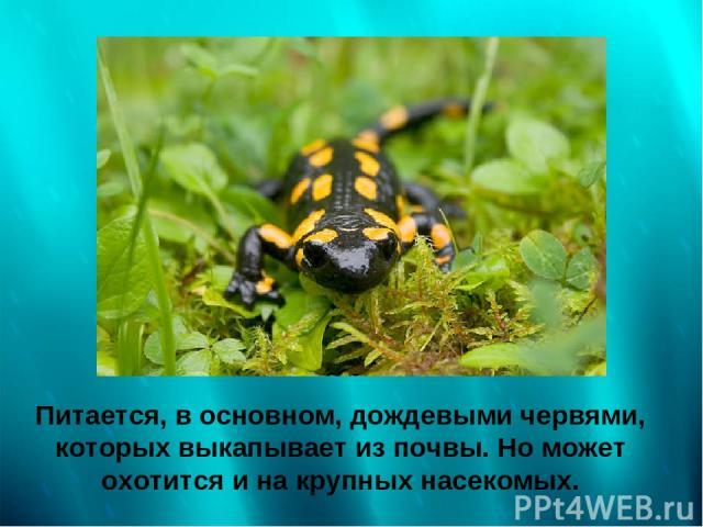 Питается, в основном, дождевыми червями, которых выкапывает из почвы. Но может охотится и на крупных насекомых.